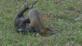 black and brown puppy playing 4K Stock Footage
