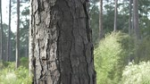 Slash pine trunk 4k Stock Footage