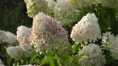 penny : Snowball hydrangea arborescens moving in the wind