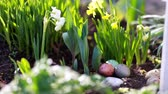 weather : narcissus and easter eggs on the spring background