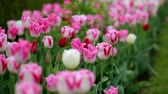 pink flower : spring tulips colorful field nature