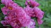 пион : close up of pink peony in a full bloom in garden.