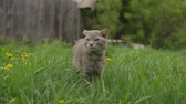 ragged : Gray old cat walks among the grass. Stock Footage
