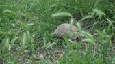 omnivore : turtle is moving along the green grass, close-up