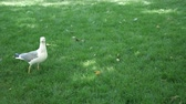 seemöwe : the seagull goes on the green grass in the park and looks around