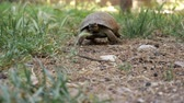 omnivore : tortoise turtle slowly moving through on green grass walking to camera.
