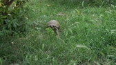 protegido : turtle is moving along the fresh green grass.
