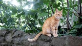 mew : wild red cat sitting on a stone and looking into the camera, copyspace