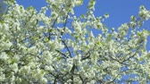 health : white cherry flowers on spring time