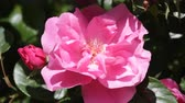 rosário :  bright beautiful pink rose shined with the sun