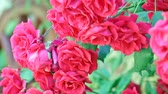 rosário : Beautiful pink roses for vertical gardening