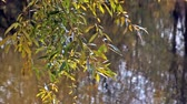 salgueiro : Willow branch against water with the reflected trees