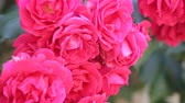 rosário : Big bush with the blossoming pink roses for vertical gardening