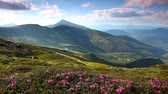 идиллический : Magic pink rhododendron flowers on summer mountain. Carpathian, Ukraine. HD video (High Definition) Стоковые видеозаписи
