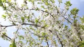 bud : Blossoming tree with white flowers in spring. HD video (High Definition)