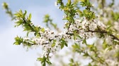 blooming : Blossoming tree with white flowers in spring. HD video (High Definition)