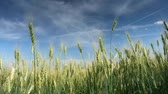 Time lapse clip. HD video (High Definition). Sunny day in the field with blue sky. Ukraine, Europe. Beauty world.