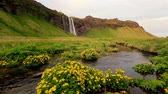 Lovely view of blooming field. Dramatic and gorgeous scene. Popular tourist attraction. Location place famous Seljalandsfoss waterfall, Iceland, Europe. World of beauty. Shooting in HD 1080 video.