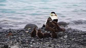 drůbež : Wild arctic ducklings with her mother on the shore of Jokulsarlon glacial lagoon. Picturesque outdoor scene. Location place Iceland, Europe. Explore the worlds beauty. Shooting in HD 1080 video.