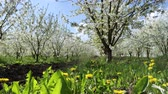 horticultura : Sunny view of the wonderful blossom fruit garden. Picturesque and gorgeous scene. Location place Carpathian, Ukraine, Europe. Discover the world of beauty. Stock Footage