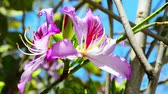 orquídea : Beautiful pink flowers of the orchid tree tremble in the wind