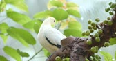 zoo : Pied Imperial Pigeon Stock Footage