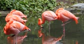 ornitoloji : Flamingos in pond Stok Video
