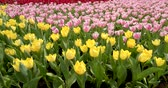tulipan : Beautiful tulip farm Wideo