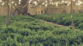 plantation : Plantation of rosemary aromatic and spicy herbs that are used as a food supplement as well as in cosmetics and medicine