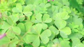 inculto : sunny meadow blossoming clover Stock Footage