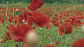 veld : close-up van een poppy veld panorama Stockvideo