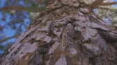close up of the bark of a huge pine and climbing the trunk of a pine tree Stock Footage