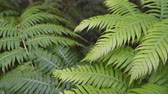 чаща : Thickets of ferns in a humid tropical forest