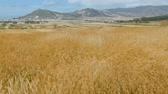 altın : Cereal plants swaying in the wind in a mountain valley on the background of the runway of the airfield