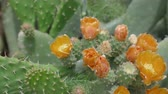 Невада : Opuntia cactus bloom Flowering thickets of wild cacti in arid tropical climates