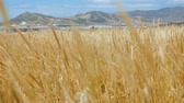 altın : The wind swings cereal plants on an agrarian field in a fertile mountain valley. Slow motion video