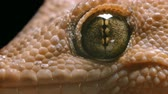 肌 : macro video gecko eyes, which often breathes 動画素材
