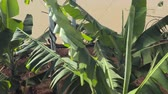tropikal meyve : close up of young banana plants on an agricultural plantation Stok Video