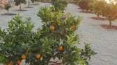 sloping : Spanish citrus garden on the slopes Stock Footage