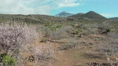 kanári szigetek : Early spring flowering of almond trees in the root valley of a volcanic island