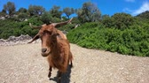 ovelha : Goat in Greece, GoPro Full HD Stock Footage
