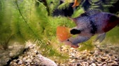 морские водоросли : Peppered corydoras and Ram cichlid in the water.