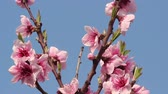 flower growing sun : Cherry blossom and blue sky. Stock Footage