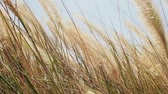 estepe : dry grass swaying in the wind. nature concept Stock Footage