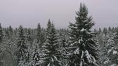 хвойный : Coniferous forest in winter, pine covered with snow, cold winter landscape