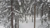 igła : Coniferous forest in winter, pine covered with snow, cold winter landscape