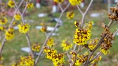 witch hazel : Hamamelis