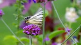 provence : Scarce Swallowtail Stock Footage
