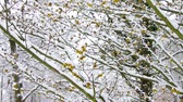 witch hazel : hamamelis in snow