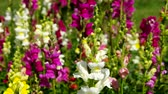 blooming : snapdragon Stock Footage